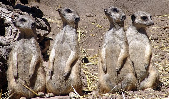 A community of meerkats