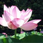 Lotus & Lilies at Kenilworth Aquatic Gardens
