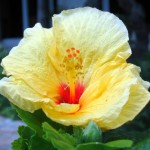 Photo Friday:  Hawaiian Hibiscus