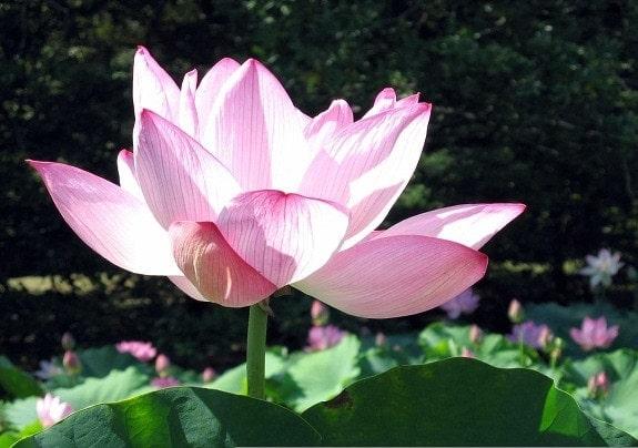 lotus at Kenilworth Gardens, DC