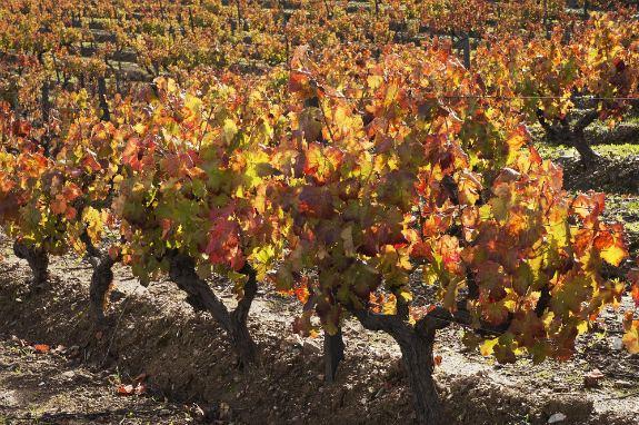 vines is Aletejo, Portugal