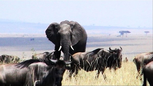 Elephant among the gnu in Kenya