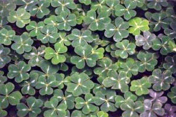 shamrock clover for St Patricks Day