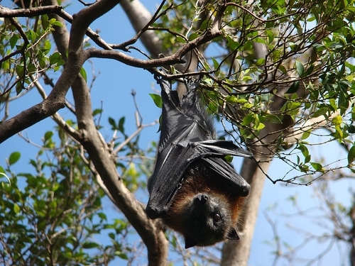 Red-Headed Flying Foxes