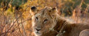 lioness on african safari