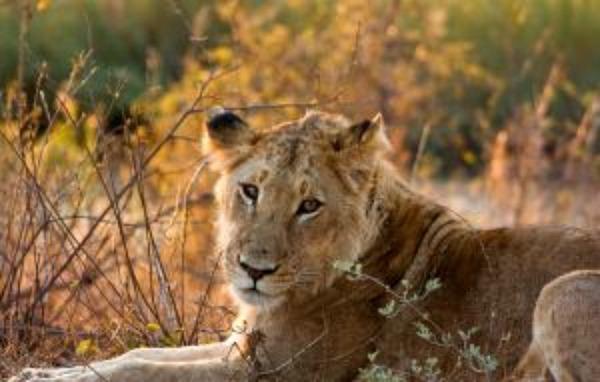 lioness on african safari