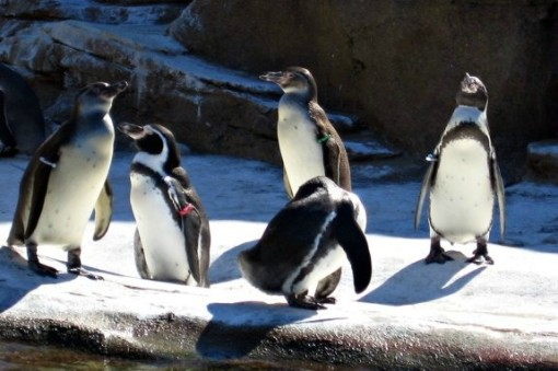 Humboldt penguins at Woodland Park Zoo