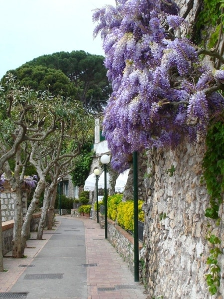 Wisteria on Capri
