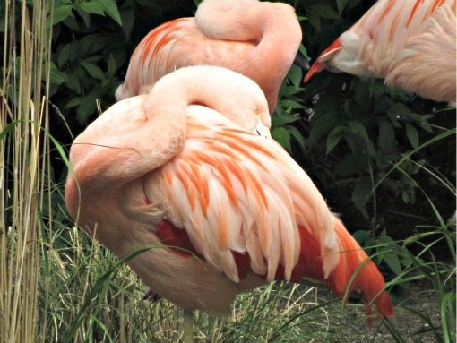 flamingos at woodland park zoo seattle