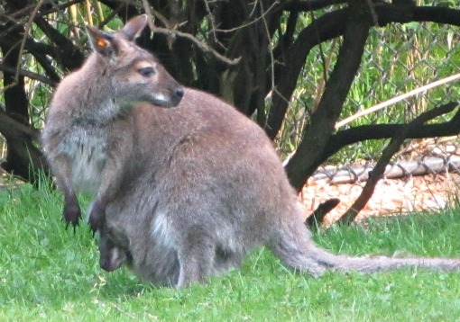 mom and joey wallaby at woodland park zoo seattle