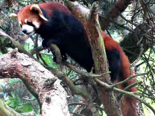 red panda at woodland park zoo seattle
