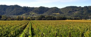 National Cabernet Day, grape vines in Napa