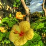 Postcard:  Hawaiian Hibiscus