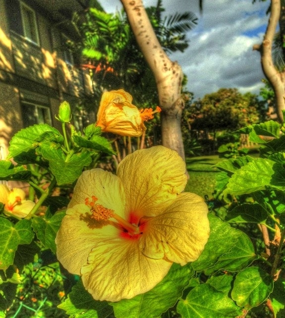 yellow hibiscus in Hawaii