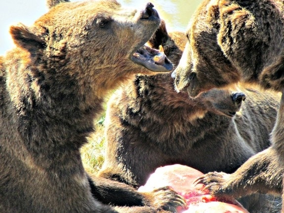 3 brown bears and popsicle at Wildlife Safari in Winston Oregon