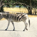 Postcard:  The Zebra