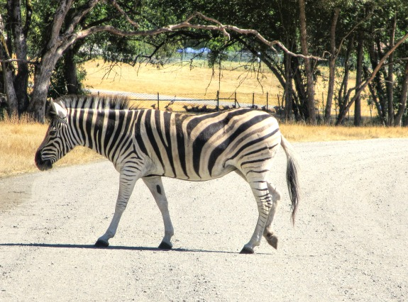 zebra crossing road