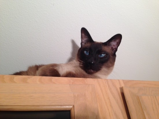 Siamese cat perched on top of cupboards