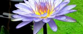 Water lilies were popular around the grounds