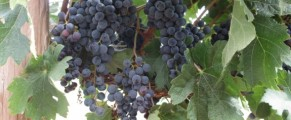Grapes ripening on the vine in Yakima Valley