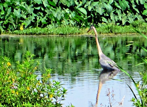 Blue Heron at Lake Apopka