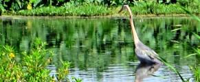 Blue Heron at Lake Apopka