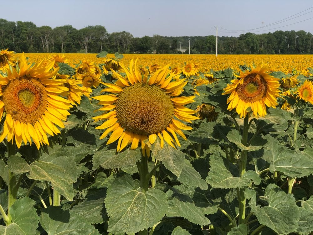 The sunflowers were in bloom in Burgundy