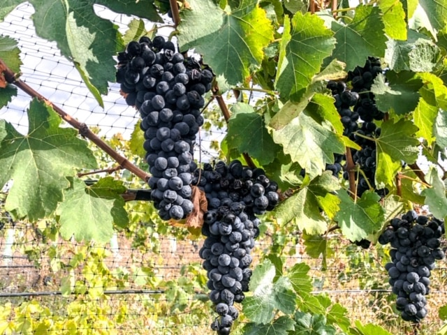 These luscious grapes will eventually be turned into delicious red wine in the Walla Walla Valley.