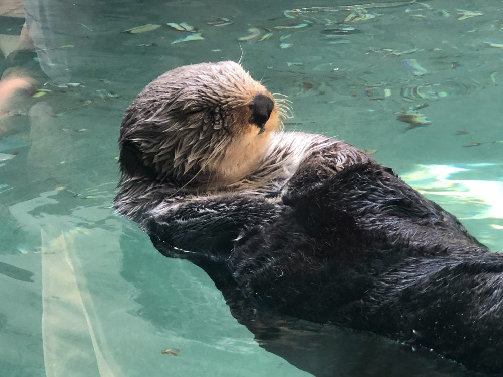 Playful otter at Seattle Aquarium