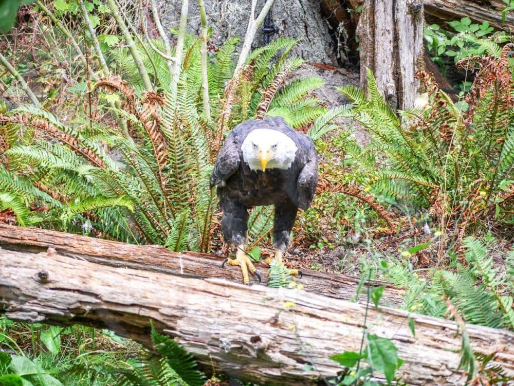 A bald eagle at Northwest Trek