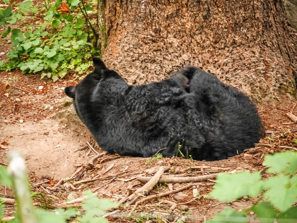 A Sleeping Bear at Northwest Trek